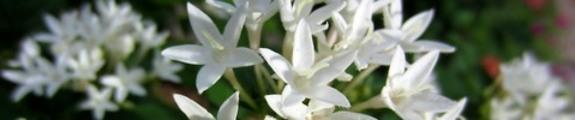 Thumbnail Penta Flowers, Web Site Banner