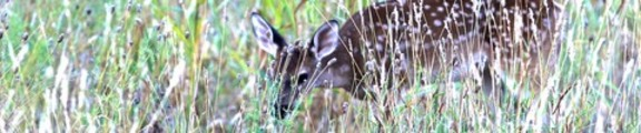 Thumbnail Deer in the Grass, web banner photo