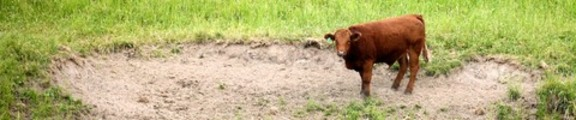 Brown Cow in a field, web banner photo