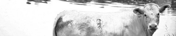 Thumbnail Black and White Cow, web banner photo