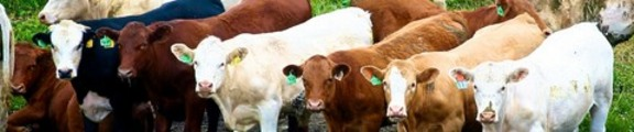 Thumbnail Line of cows, web banner photo