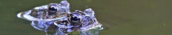 Thumbnail Mating Toads, Web banner photo