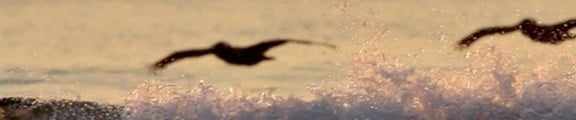 Pelicans glide over the waves, web banner photo