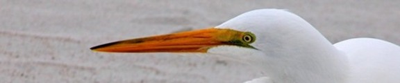 Thumbnail Egret  portrait, web banner photo