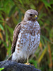 Thumbnail Red-Shouldered Hawk in Florida