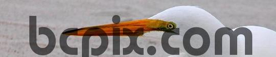Product picture Egret  portrait, web banner photo
